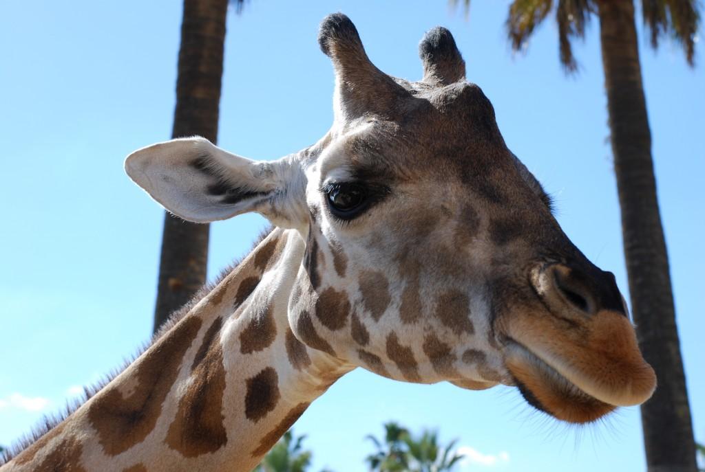 Giraffe San Diego Zoo Safari Park