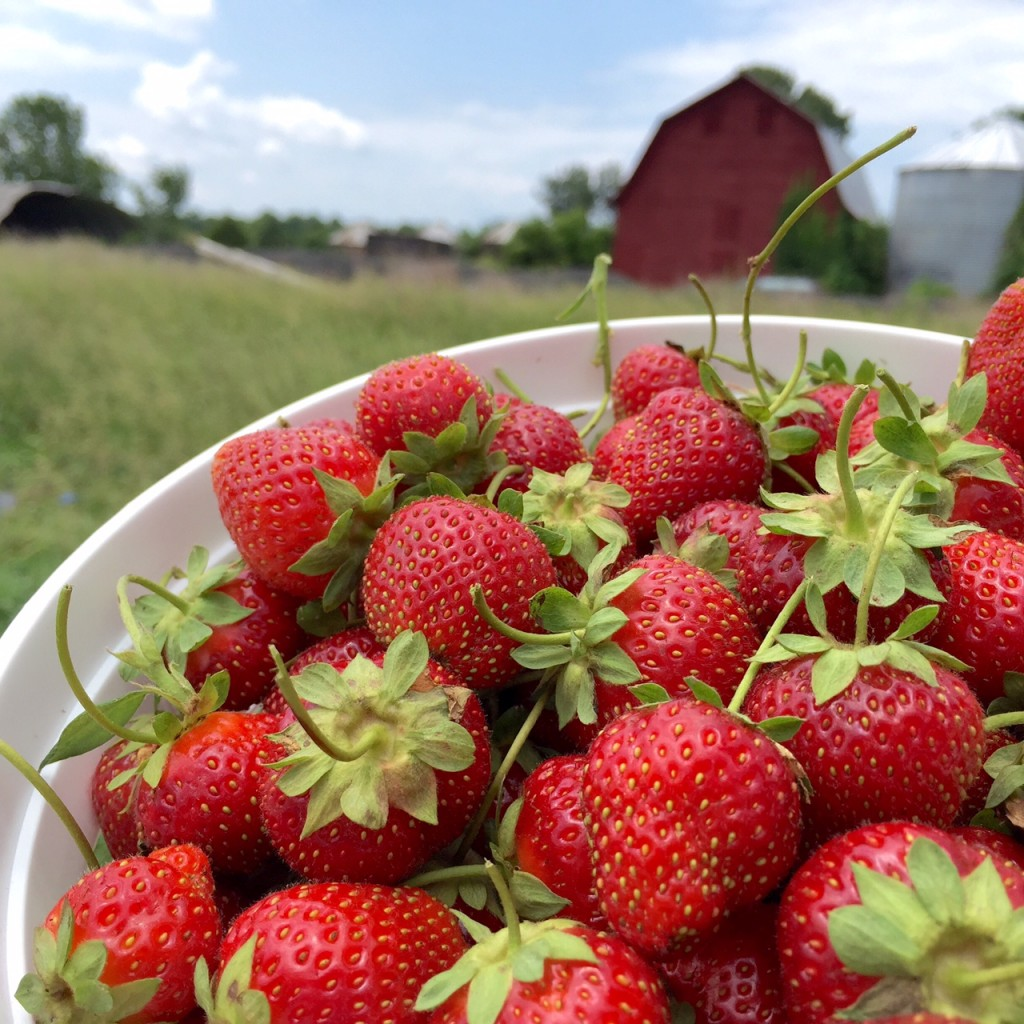 Yankey Farms Strawberry Picking | getinmymouf.com